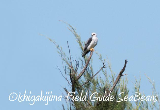 7.20 石垣島 野鳥撮影 バードウオッチング16