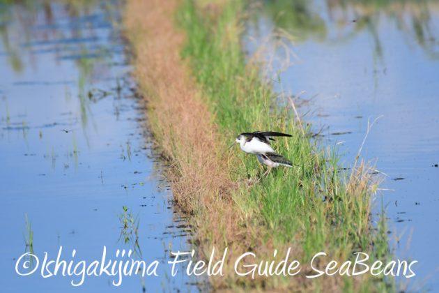 7月30日 石垣島 バードウオッチング&野鳥撮影4