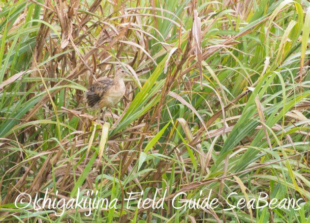 7月29日 石垣島バードウオッチング&野鳥撮影5