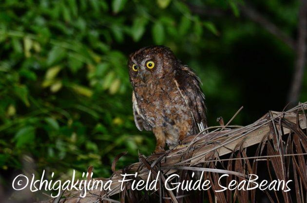 7.21石垣島 ナイトツアー 夜の野鳥撮影5