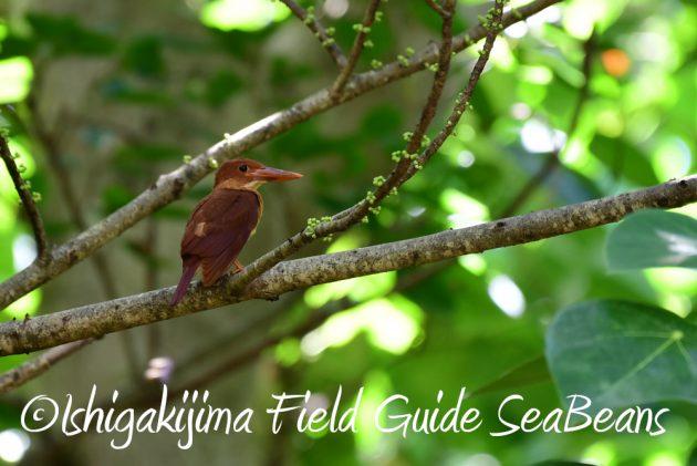 7.20 石垣島 野鳥撮影 バードウオッチング1