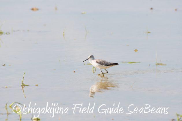 7月29日 石垣島バードウオッチング&野鳥撮影14