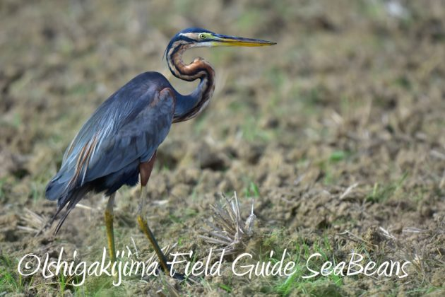 7月28日-石垣島 バードウオッチング 野鳥6