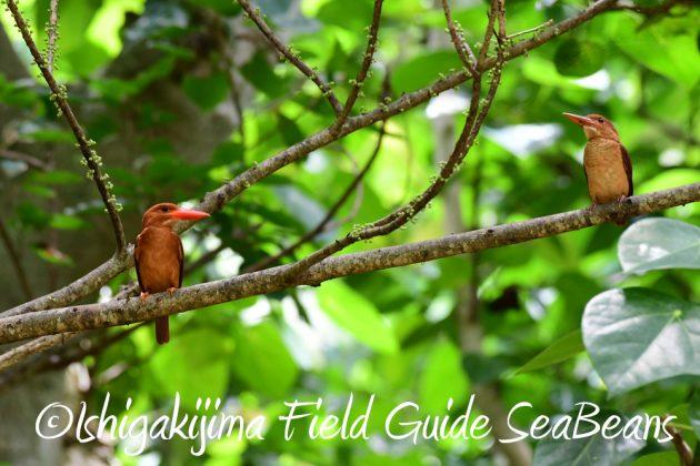 7.22-石垣島 野鳥 バードウオッチング 撮影ガイド14