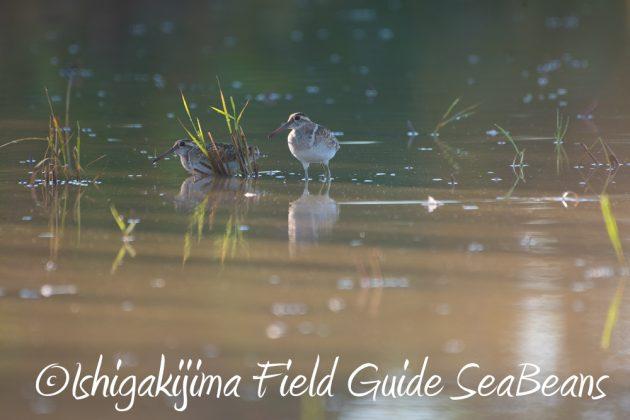 7.23石垣島の野鳥タマシギ