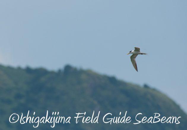 7月29日 石垣島バードウオッチング&野鳥撮影11