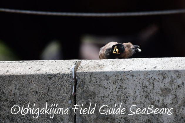 7.17-石垣島 バードウオッチング 野鳥撮影 ガイド10