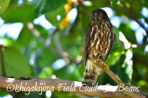 7月28日-石垣島 バードウオッチング 野鳥8
