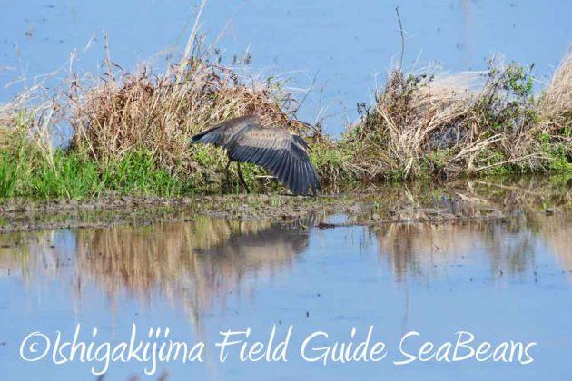 7月27日 石垣島の野鳥5