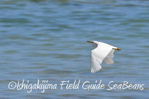 7月29日 石垣島バードウオッチング&野鳥撮影19