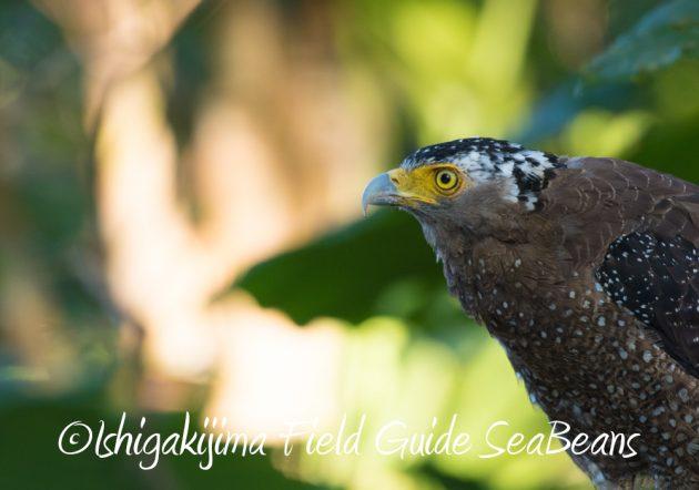 7.23石垣島の野鳥 カンムリワシ