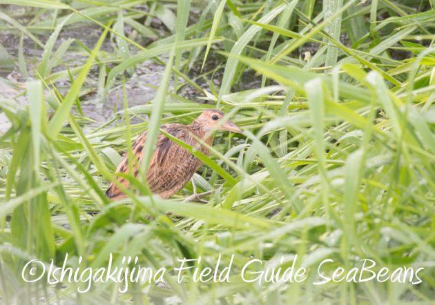 7月29日 石垣島バードウオッチング&野鳥撮影4