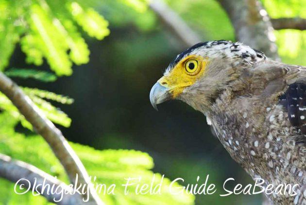 7月27日 石垣島の野鳥1