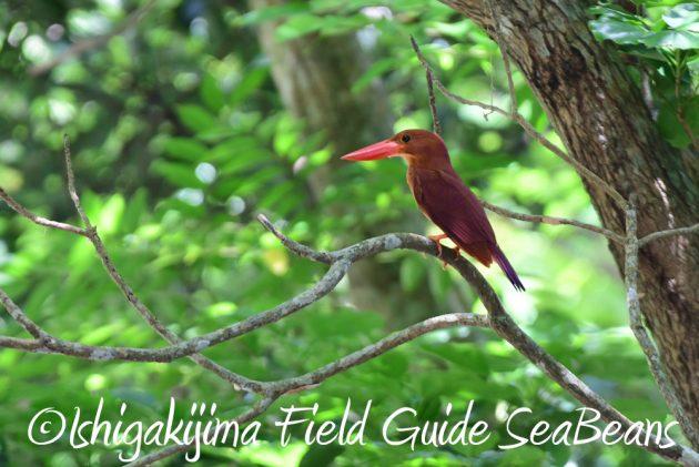 7.20 石垣島 野鳥撮影 バードウオッチング3