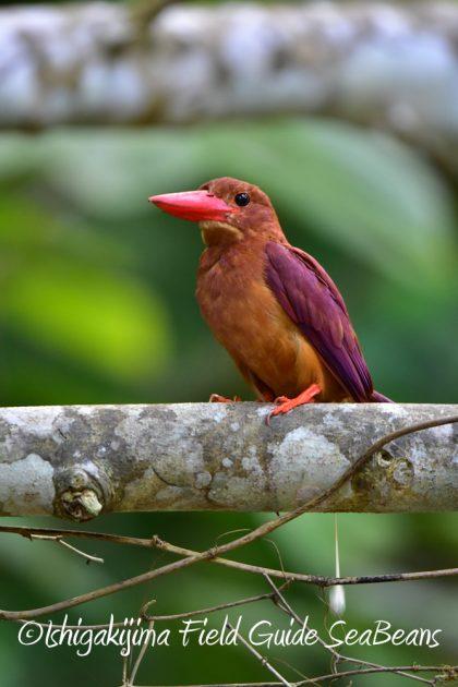 7月28日-石垣島 バードウオッチング 野鳥11