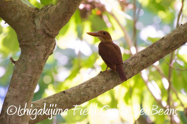7.20 石垣島 野鳥撮影 バードウオッチング5