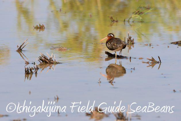 7月31日石垣島 野鳥撮影 バードウオッチング2