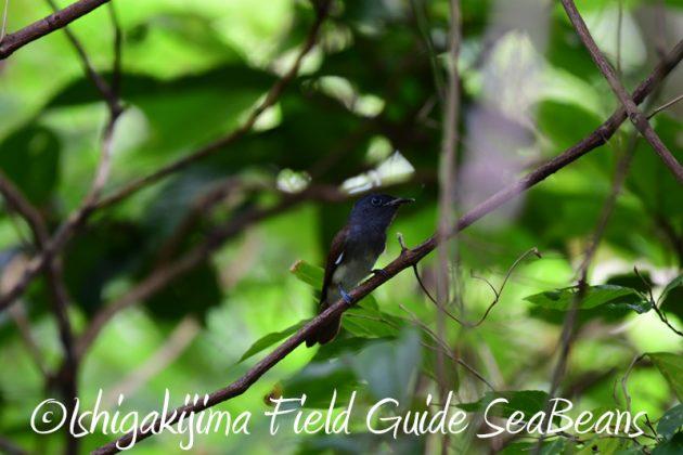 7月30日 石垣島 バードウオッチング&野鳥撮影11