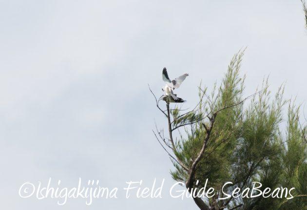 7月29日 石垣島バードウオッチング&野鳥撮影3