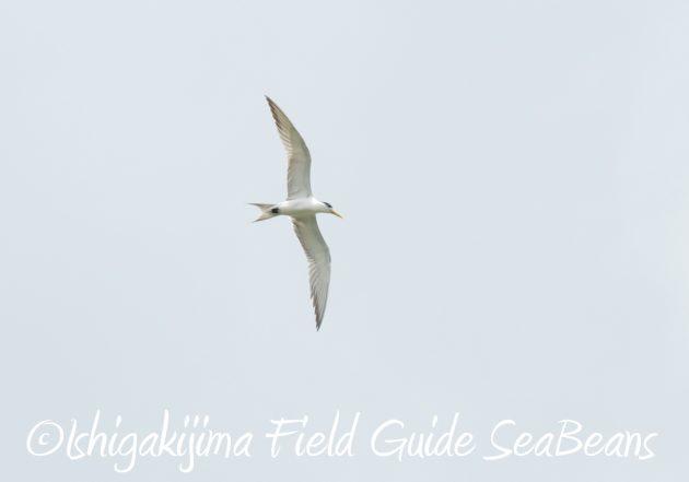 7.17-石垣島 バードウオッチング 野鳥撮影 ガイド7