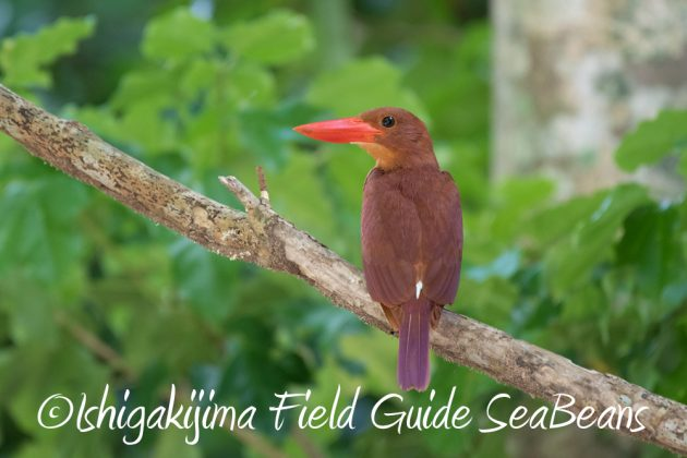 7.17-石垣島 バードウオッチング 野鳥撮影 ガイド1