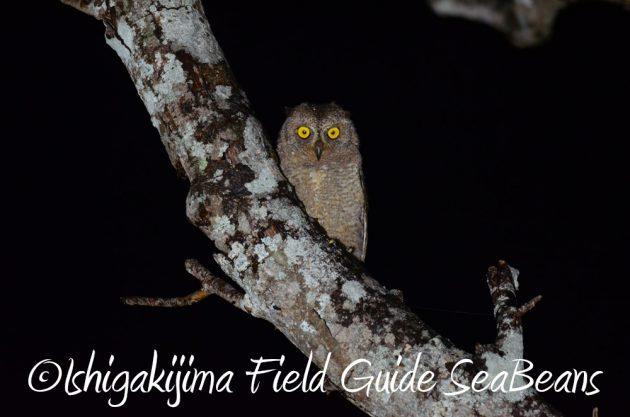 7.21石垣島 ナイトツアー 夜の野鳥撮影3