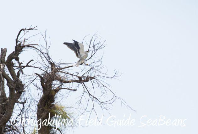 7月29日 石垣島バードウオッチング&野鳥撮影2