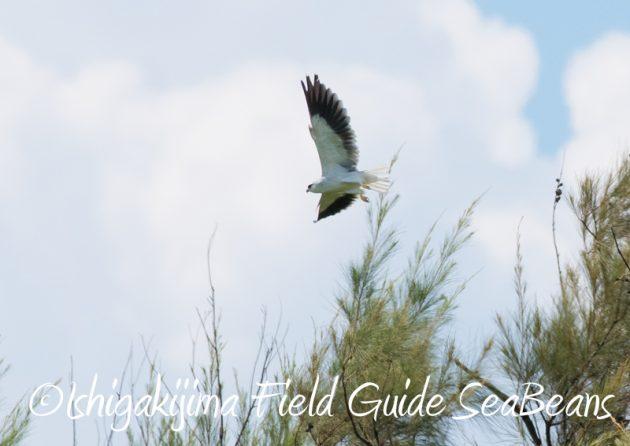 7月30日 石垣島 バードウオッチング&野鳥撮影12