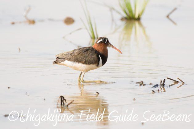 7月31日石垣島 野鳥撮影 バードウオッチング1