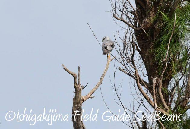 7月28日-石垣島 バードウオッチング 野鳥7