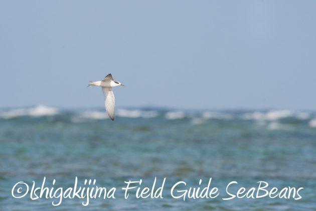 716-石垣島-野鳥2