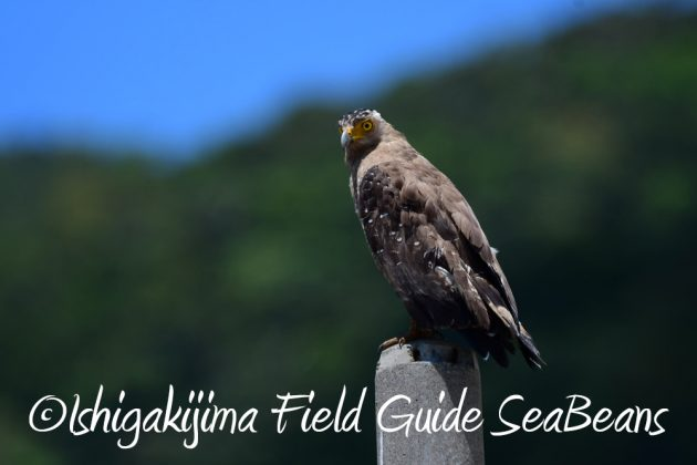 7.22-石垣島 野鳥 バードウオッチング 撮影ガイド11