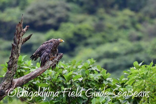 7月29日 石垣島バードウオッチング&野鳥撮影8