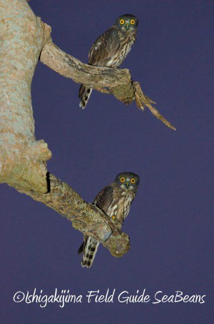 715野鳥観察 ナイトツアー6