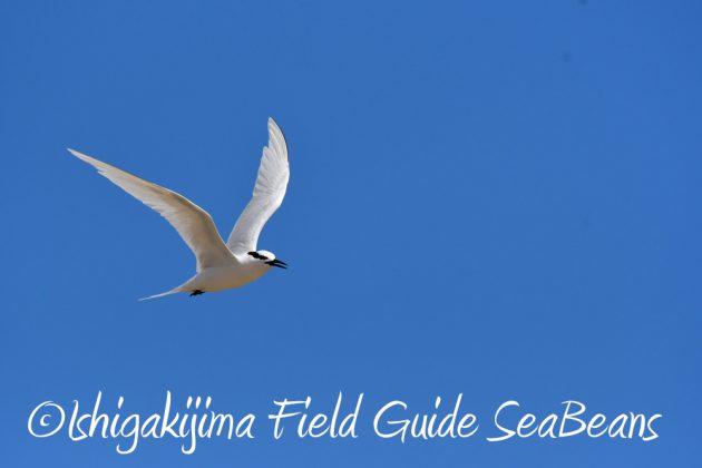 7.20 石垣島 野鳥撮影 バードウオッチング14