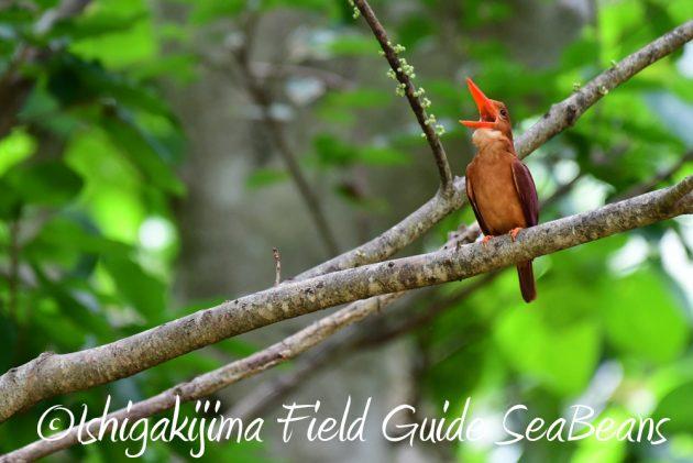 7.22-石垣島 野鳥 バードウオッチング 撮影ガイド15