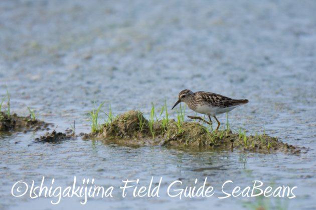 7月28日-石垣島 バードウオッチング 野鳥3