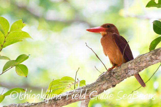 7月29日 石垣島バードウオッチング&野鳥撮影10