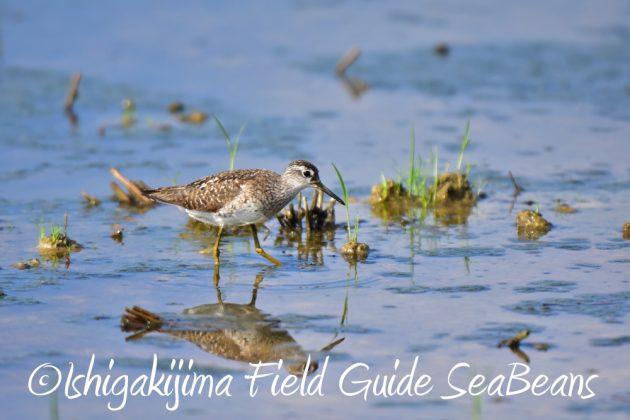 7月28日-石垣島 バードウオッチング 野鳥4