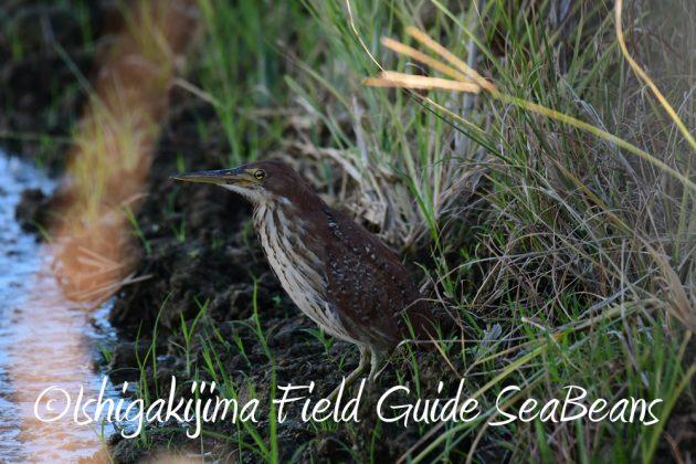 7.22-石垣島 野鳥 バードウオッチング 撮影ガイド2
