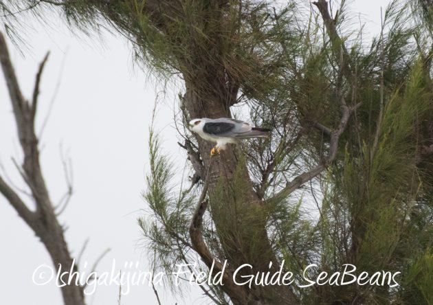716-石垣島-野鳥7