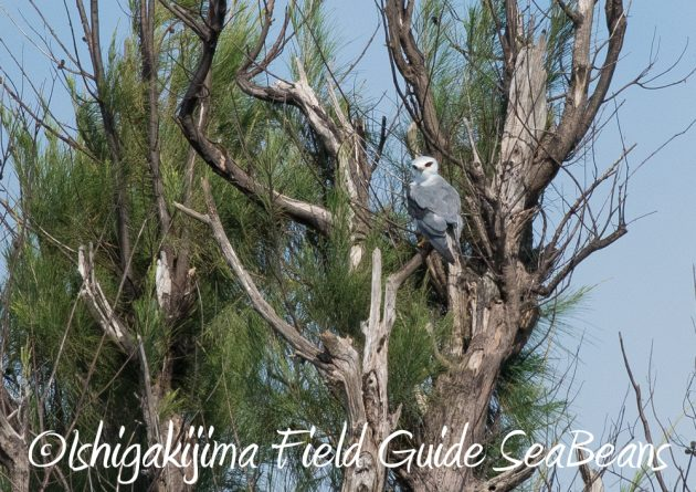 7.22-石垣島 野鳥 バードウオッチング 撮影ガイド5
