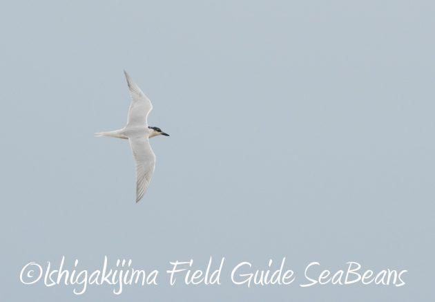 7.17-石垣島 バードウオッチング 野鳥撮影 ガイド6