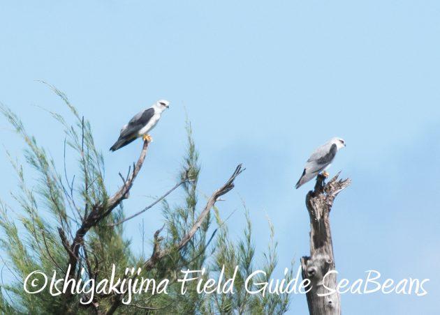 7.20 石垣島 野鳥撮影 バードウオッチング17