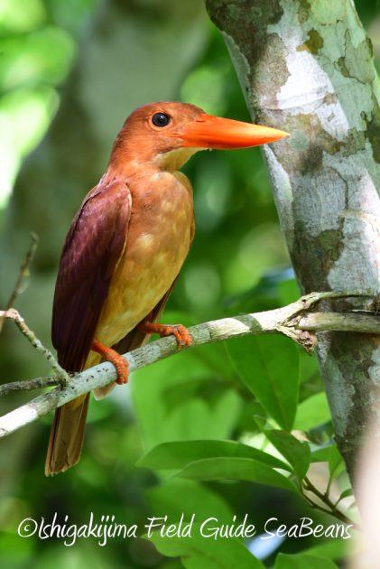 7.22-石垣島 野鳥 バードウオッチング 撮影ガイド16