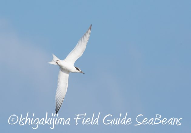 716-石垣島-野鳥3