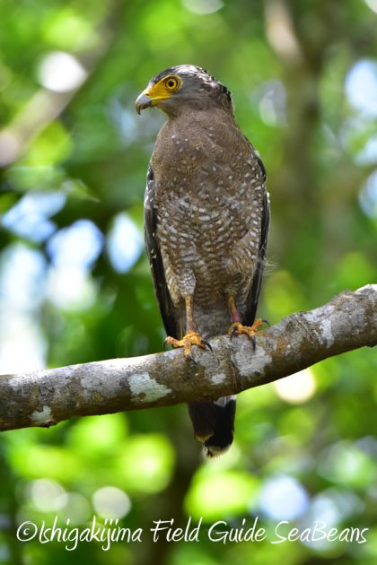 7月28日-石垣島 バードウオッチング 野鳥9
