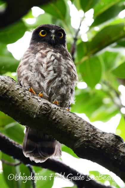 8月10日石垣島 バードウオッチング&野鳥撮影5