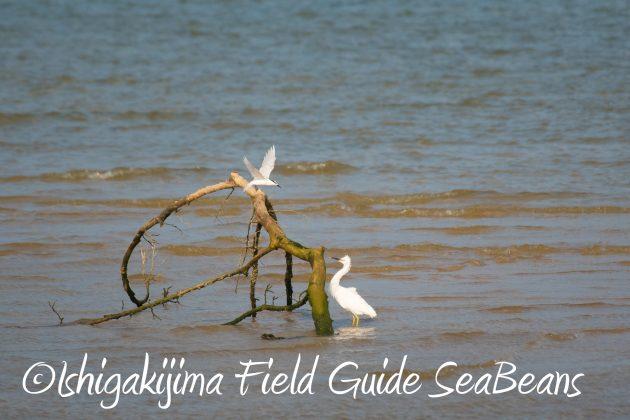 8月25日石垣島バードウオッチング&野鳥撮影ガイド1
