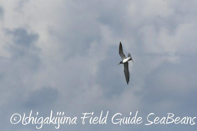8月16日石垣島 バードウオッチング&野鳥撮影ガイド8